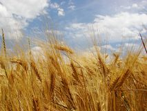 Wheat. Golden wheat crop field before harvest Stock Images