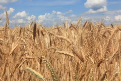 Wheat. On a field, seen in southern Germany Royalty Free Stock Image