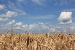 Wheat. On a field, seen in southern Germany Stock Images