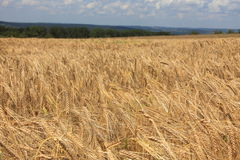 Wheat. On a field, seen in southern Germany Stock Photo