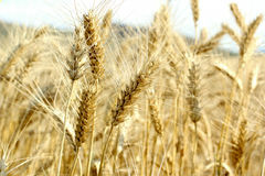 Wheat. Golden wheat land , agriculture concept Stock Photography