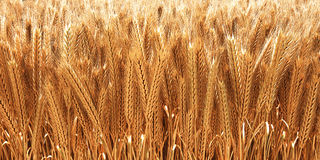 Wheat. Field of golden wheat ears. 3D image Royalty Free Stock Photo