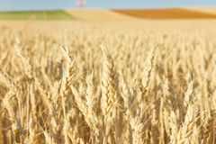 Wheat. Golden Wheat at the field, close-up Stock Photography