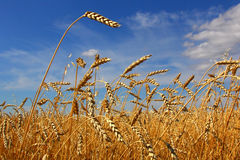 Wheat. Field against the sky Royalty Free Stock Photo
