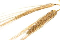 Wheat. Golden wheat on white background Stock Image