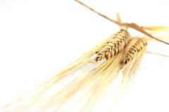 Wheat. Golden wheat on white background Stock Photos