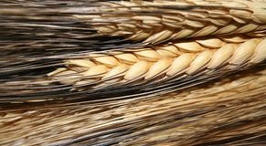 Wheat. Extreme closeup of ripened wheat royalty free stock photos