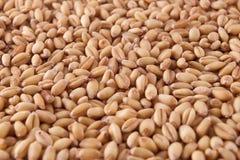 Wheat. Grains in the bulk Stock Photo