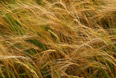 Wheat Royalty Free Stock Photos
