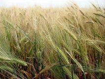 Wheat. Seed Royalty Free Stock Images