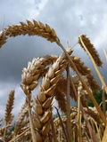 Wheat Royalty Free Stock Photo