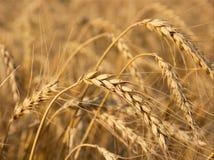 Wheat Stock Image