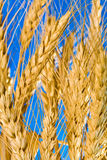 Wheat. An abstract view of a golden wheat grain tuft against the blue sky Stock Photography