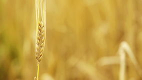Wheat stock video