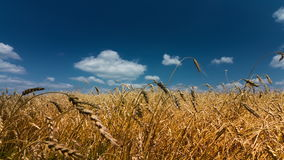 Wheat stock video