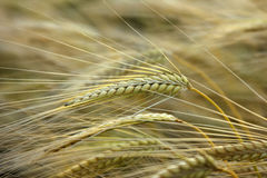 Wheat. Field right before harvesting Stock Images