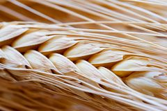 Wheat. Close-up of a wheat ear Stock Photography