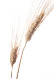 Wheat 4 royalty free stock images