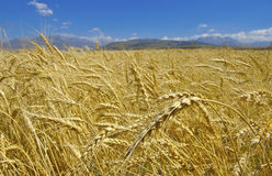 Wheat. Field with gold ripe wheat Royalty Free Stock Photos