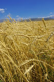 Wheat. Field with gold ripe wheat Royalty Free Stock Image