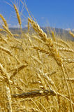 Wheat. Field with gold ripe wheat Royalty Free Stock Images