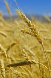 Wheat. Field with gold ripe wheat Stock Image