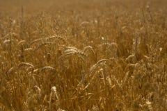 WHEAT. Growing in a farm field Stock Image