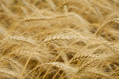 Wheat. Ripe yellow wheat with stalks by grains royalty free stock images