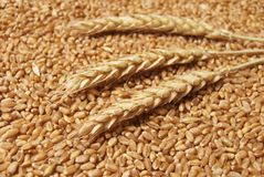 Wheat. Background in close up Stock Photo