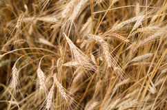 Wheat. Close up detail of heads of Wheat ready for harvesting Royalty Free Stock Images