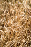 Wheat. Close up detail of heads of Wheat ready for harvesting stock photography