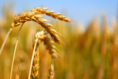Wheat 5 Royalty Free Stock Photo