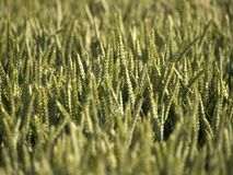Wheat 5. Wheat field crops close up royalty free stock image