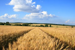 Wheat.5 Royalty Free Stock Photos