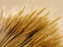 Wheat. Ears-close-up in special lighting condition Stock Image