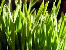 Wheat. Green wheat Royalty Free Stock Image