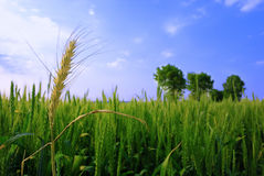 Wheat. Green wheat , trees and blue sky Royalty Free Stock Photography