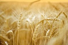 Free Wheat Stock Photography - 5623692