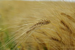 Wheat. Close up shot of wheat royalty free stock images