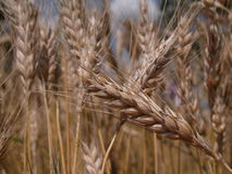 Wheat. Cornfield Stock Image