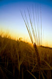Wheat. Sunbathed wheat during a sunset Royalty Free Stock Photo