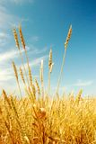 Wheat. Field of wheat in a sunny day Stock Images