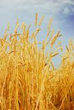 Wheat. Field of wheat in a sunny day Royalty Free Stock Images