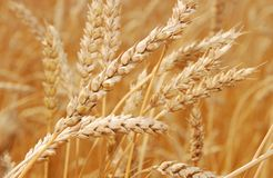 Wheat. Field of wheat in a sunny day Royalty Free Stock Photo