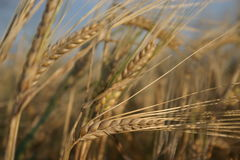 Wheat. Dry wheats in a field Royalty Free Stock Photography