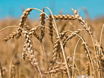 Wheat. Field and blue sky royalty free stock image