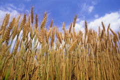Wheat. Ears of wheat in summer Stock Image
