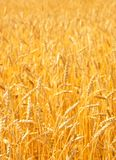 Wheat. Field of wheat in a sunny day Royalty Free Stock Image