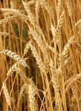 Wheat. Field of wheat in a sunny day Royalty Free Stock Photos