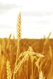 Wheat. Field of wheat in a sunny day Stock Photography